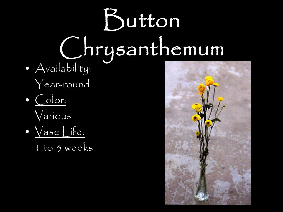 Button Chrysanthemum Availability: Year-round Color: Various