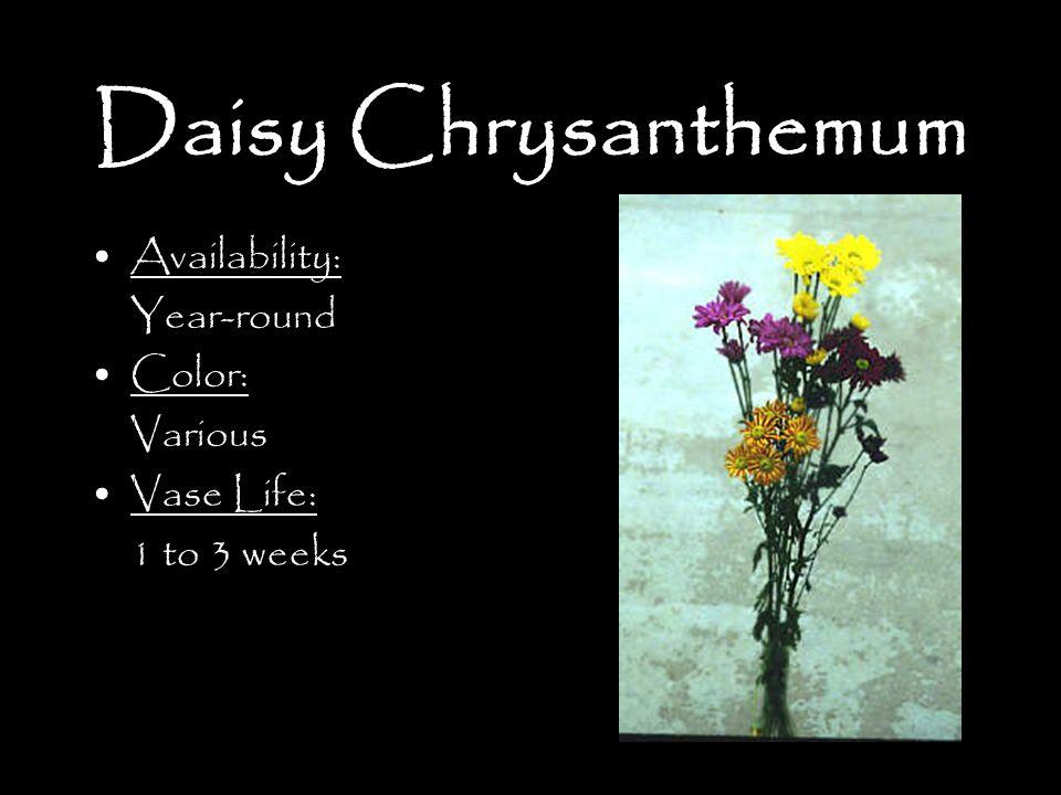 Daisy Chrysanthemum Availability: Year-round Color: Various Vase Life: