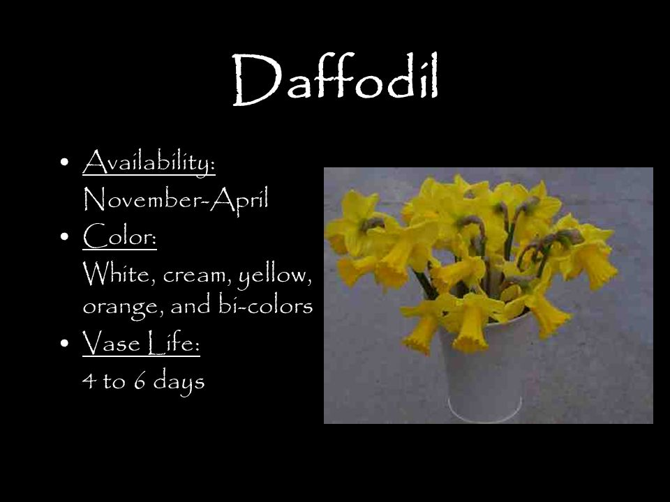Daffodil Availability: November-April Color: