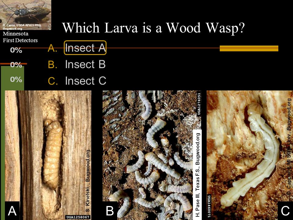 Which Larva is a Wood Wasp
