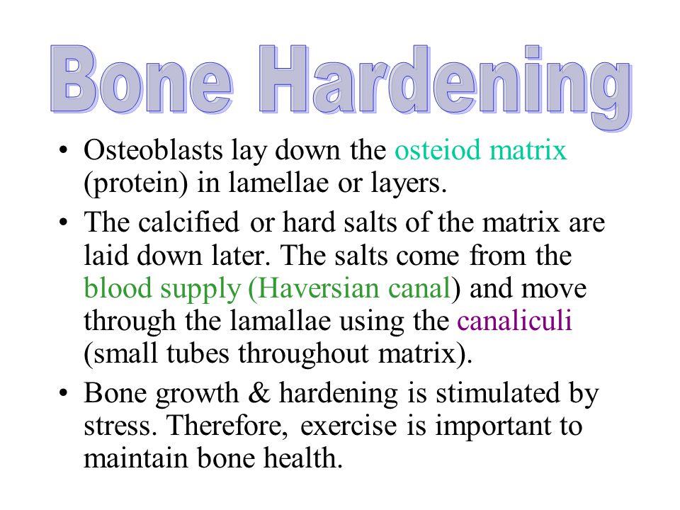 Bone Hardening Osteoblasts lay down the osteiod matrix (protein) in lamellae or layers.