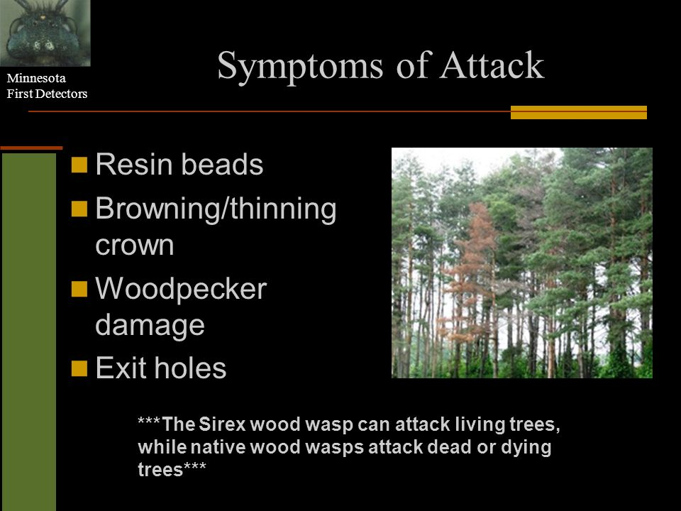 Symptoms of Attack Resin beads Browning/thinning crown