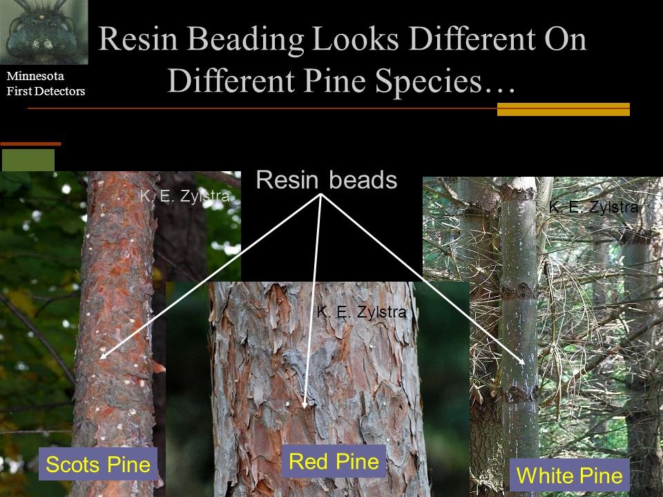 Resin Beading Looks Different On Different Pine Species…