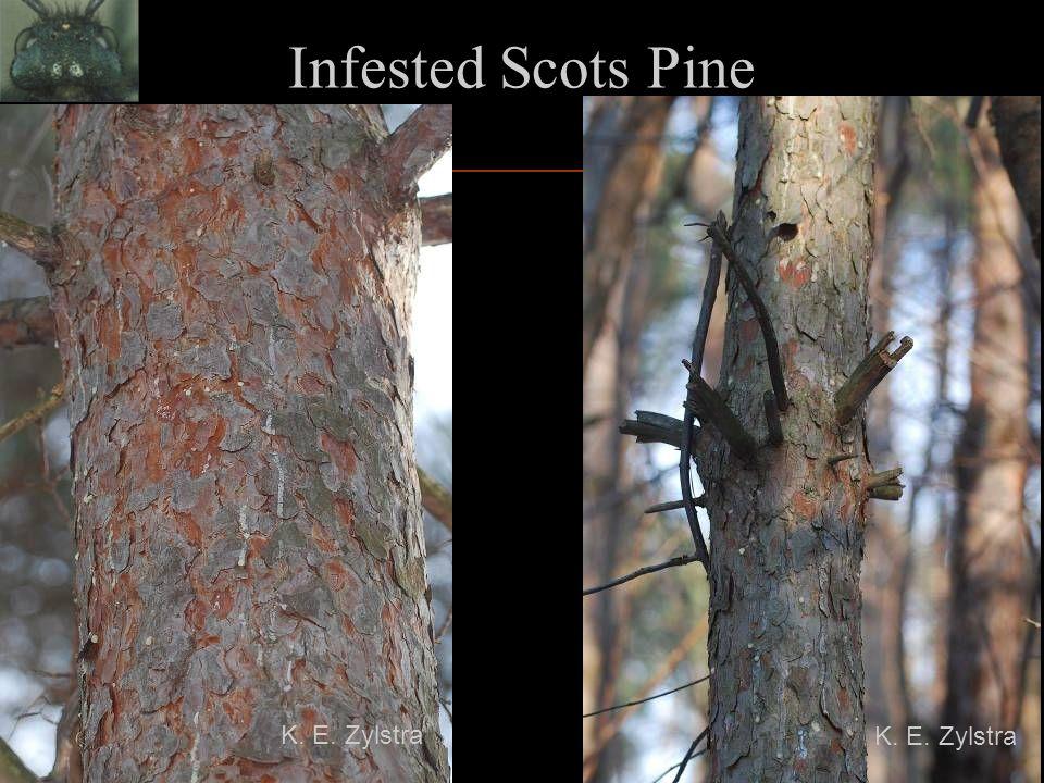 Infested Scots Pine K. E. Zylstra K. E. Zylstra