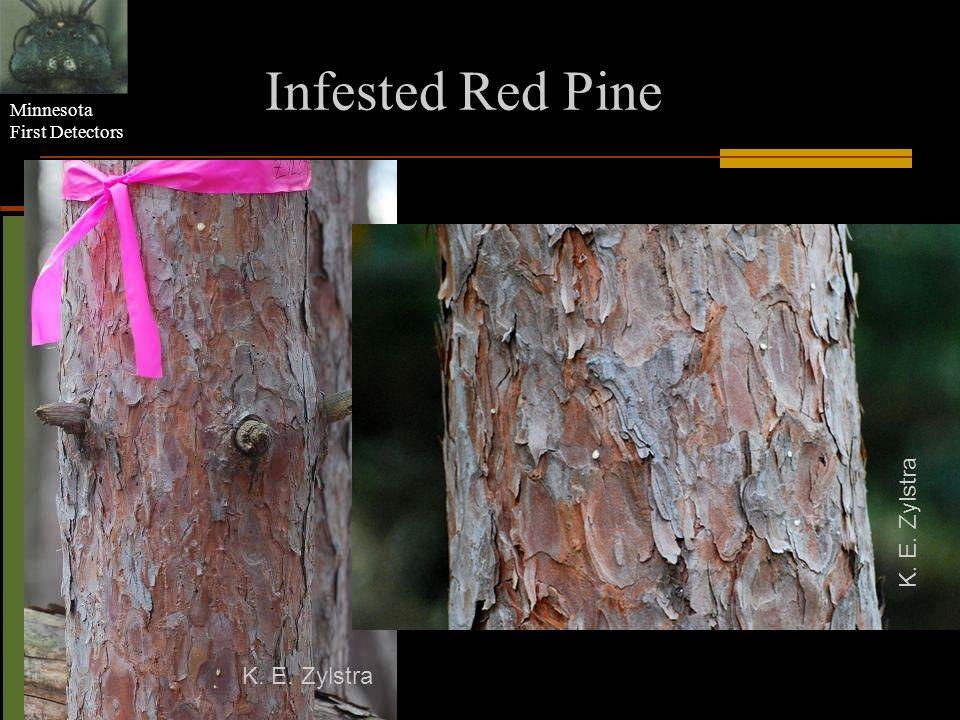 Infested Red Pine K. E. Zylstra K. E. Zylstra