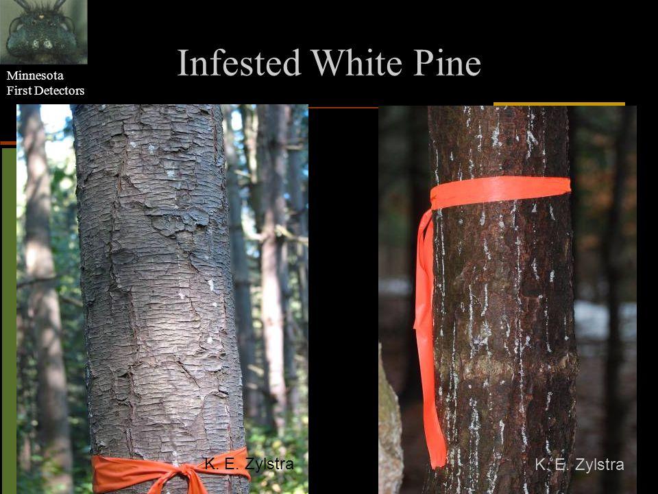 Infested White Pine K. E. Zylstra K. E. Zylstra