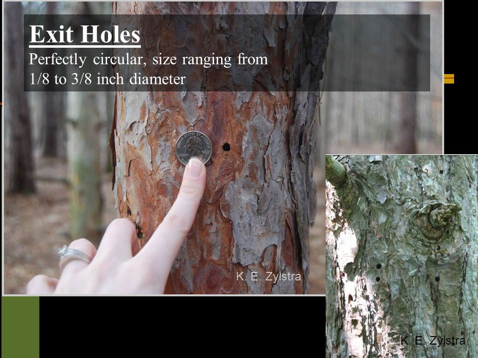 K. E. Zylstra Exit Holes Perfectly circular, size ranging from 1/8 to 3/8 inch diameter.