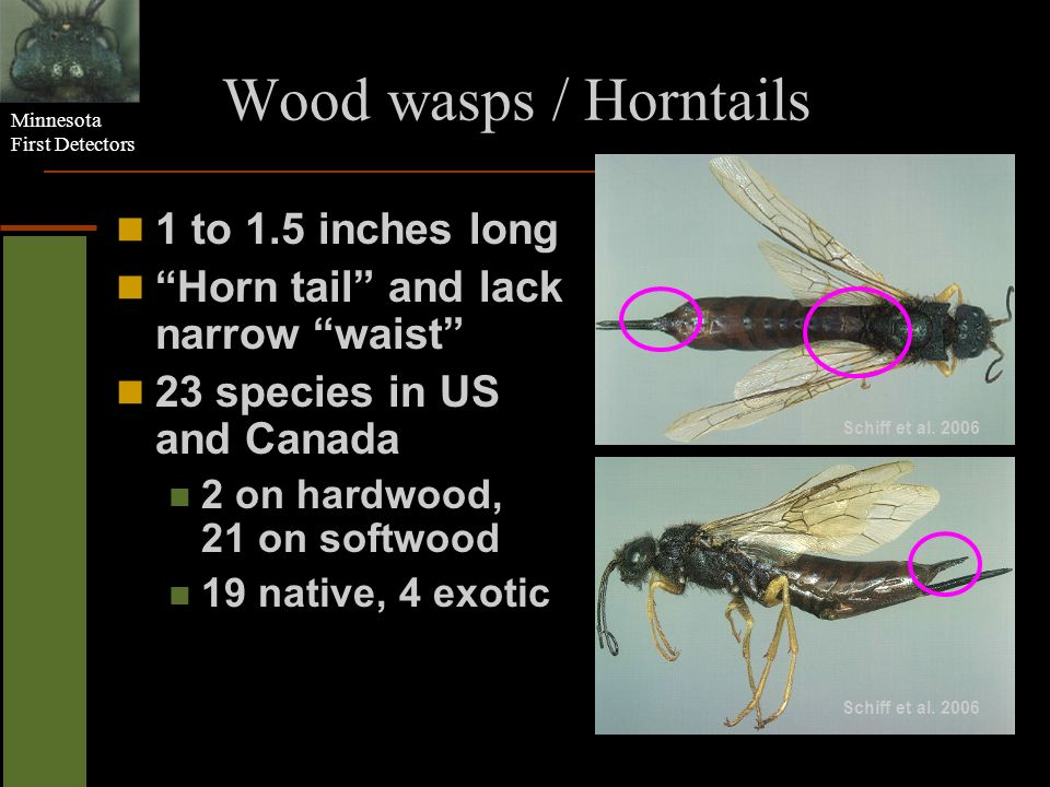 Wood wasps / Horntails 1 to 1.5 inches long