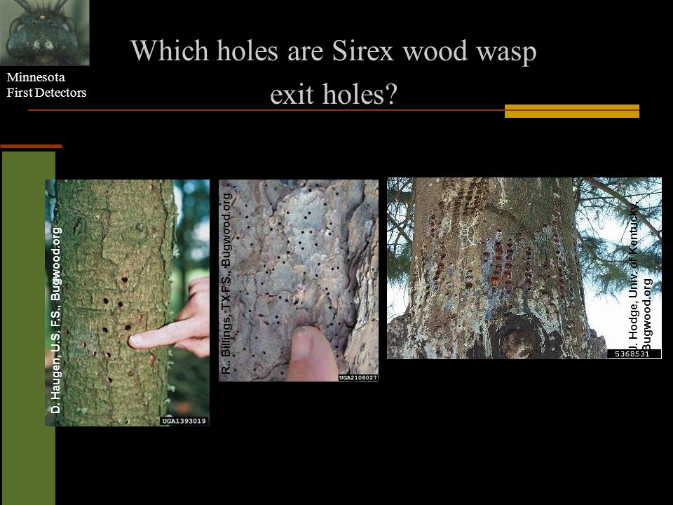 Which holes are Sirex wood wasp
