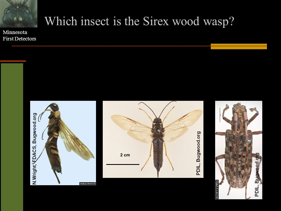 Which insect is the Sirex wood wasp