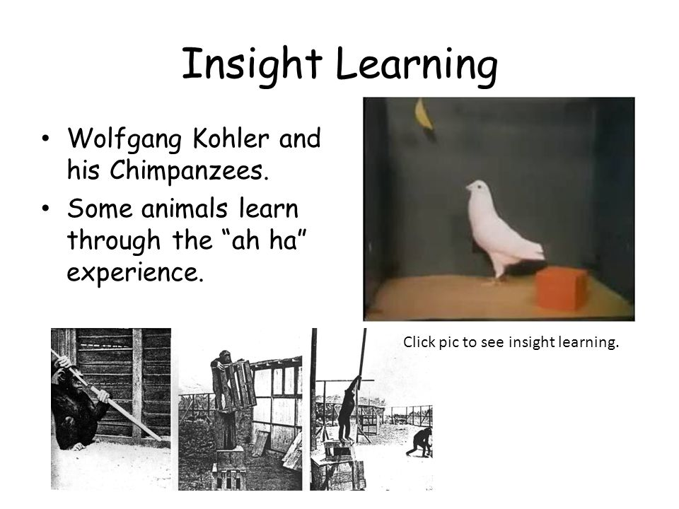 Insight Learning Wolfgang Kohler and his Chimpanzees.