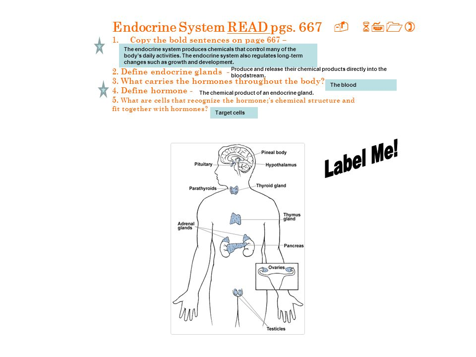 Label Me! Endocrine System READ pgs. 667 - 671)