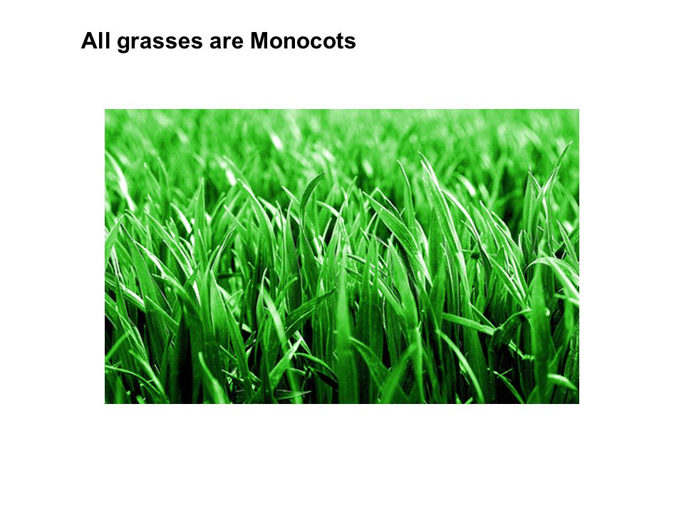 All grasses are Monocots