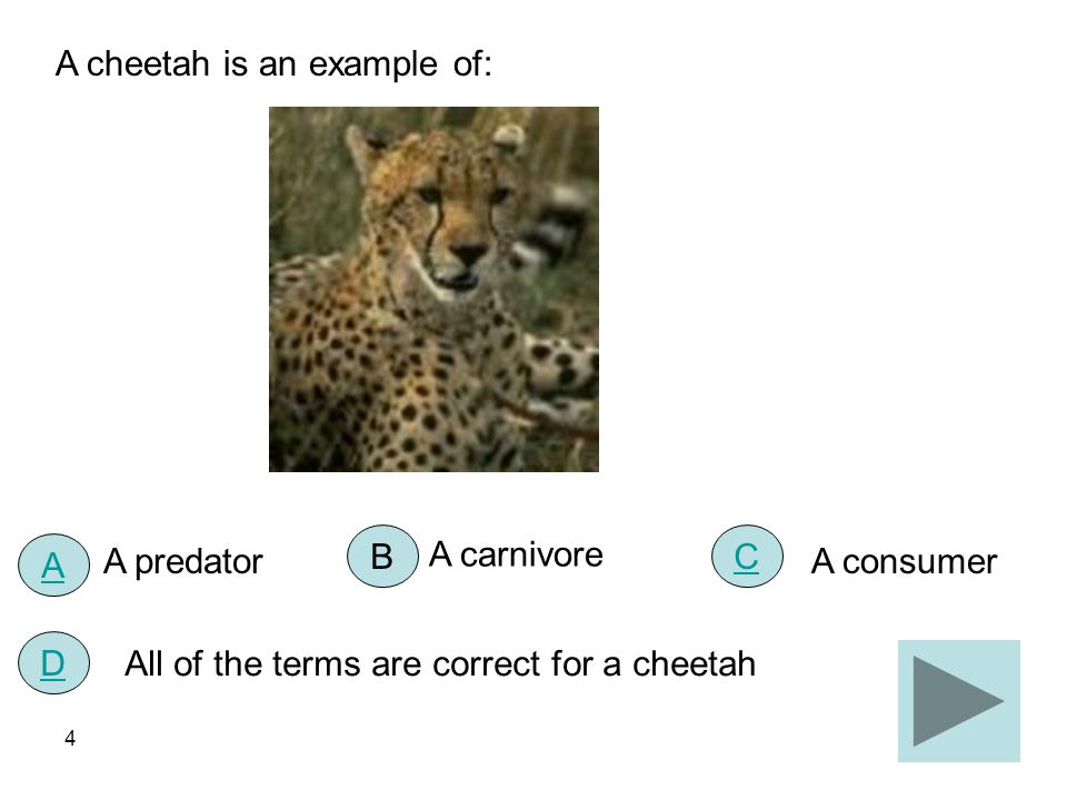 A cheetah is an example of:
