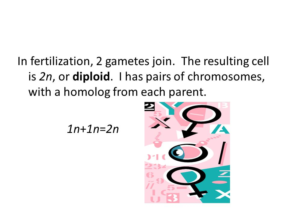 In fertilization, 2 gametes join. The resulting cell is 2n, or diploid