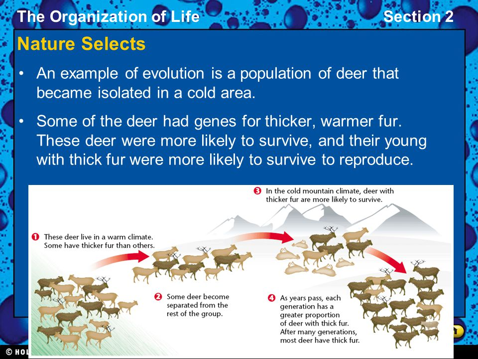 Nature Selects An example of evolution is a population of deer that became isolated in a cold area.