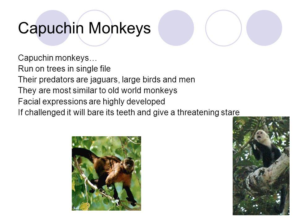 Capuchin Monkeys Capuchin monkeys… Run on trees in single file