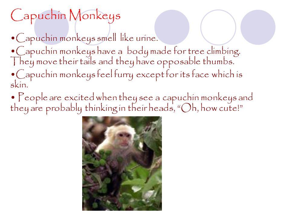Capuchin Monkeys Capuchin monkeys smell like urine.