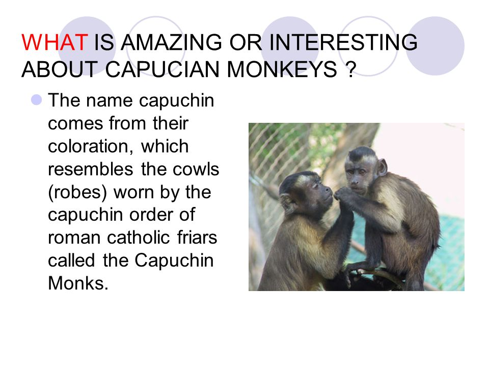 WHAT IS AMAZING OR INTERESTING ABOUT CAPUCIAN MONKEYS