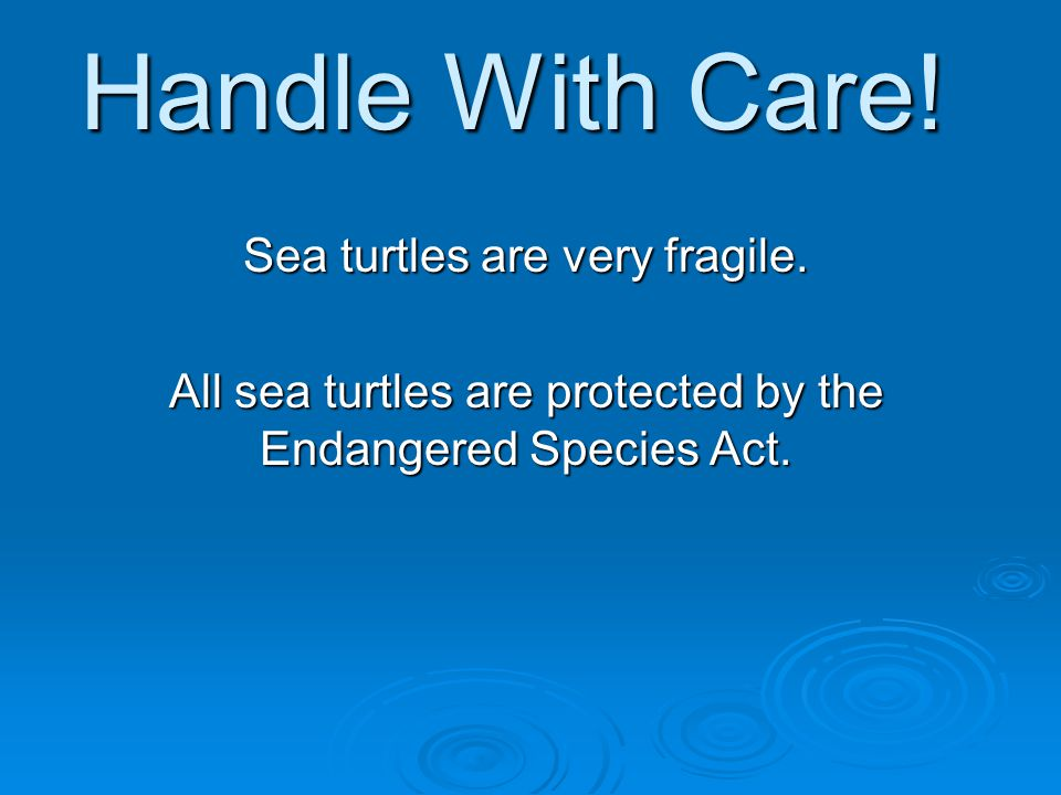 Handle With Care! Sea turtles are very fragile.