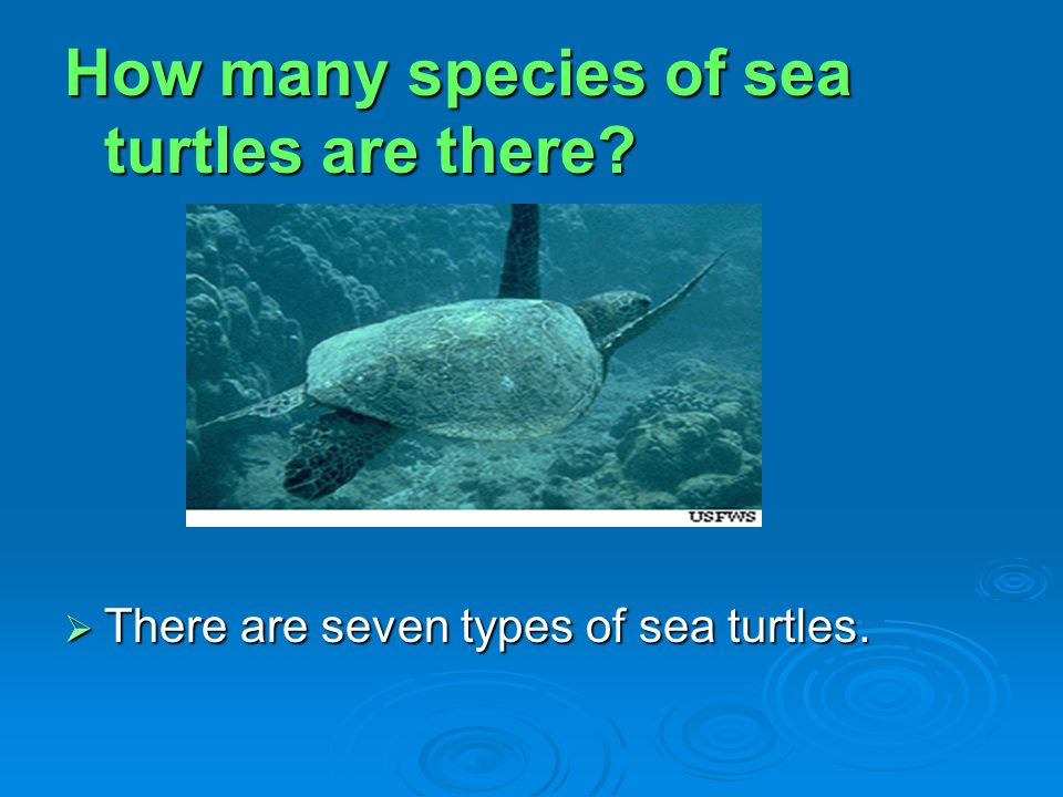 How many species of sea turtles are there