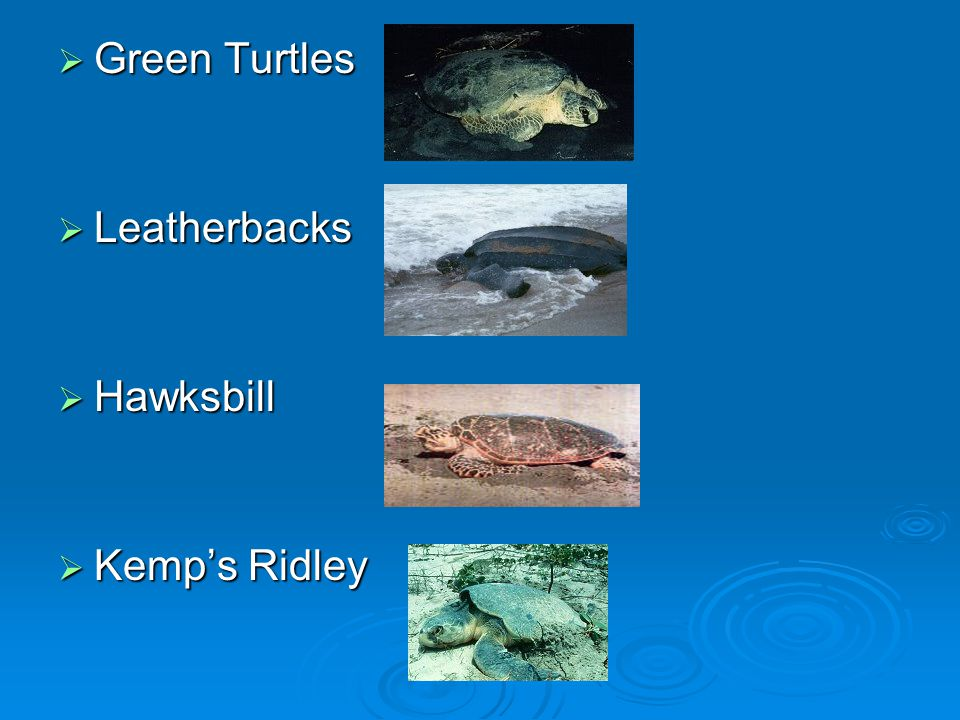 Green Turtles Leatherbacks Hawksbill Kemp's Ridley