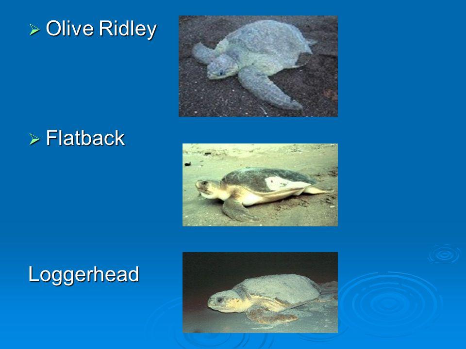 Olive Ridley Flatback Loggerhead