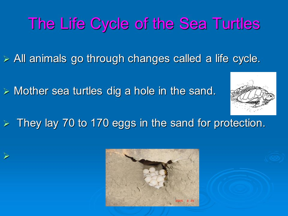 The Life Cycle of the Sea Turtles