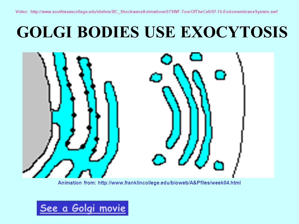 GOLGI BODIES USE EXOCYTOSIS