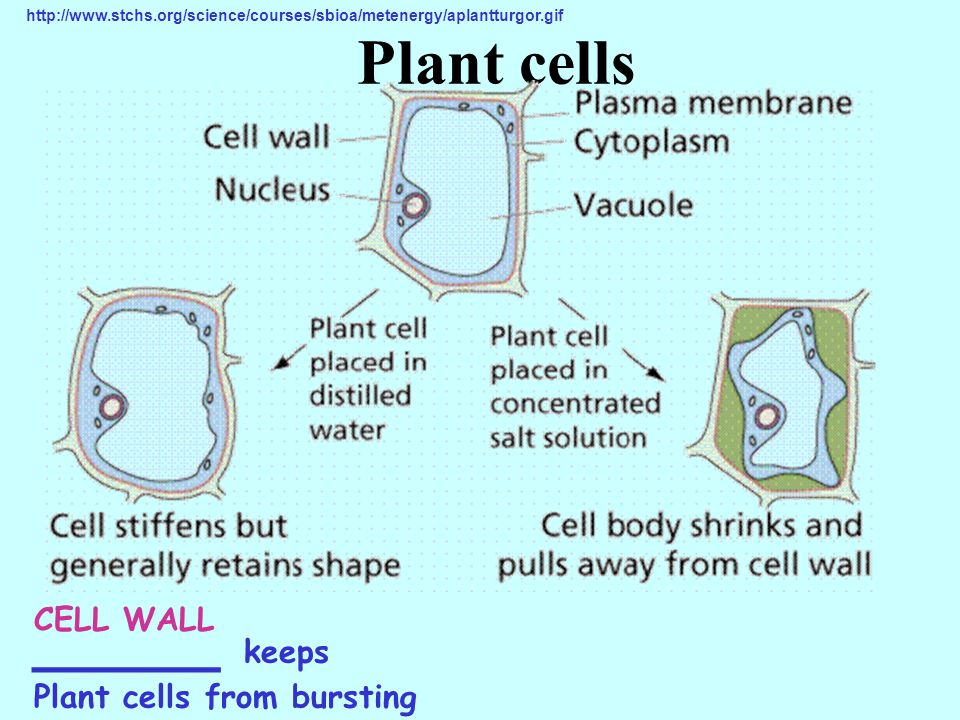 Plant cells _____ keeps CELL WALL Plant cells from bursting