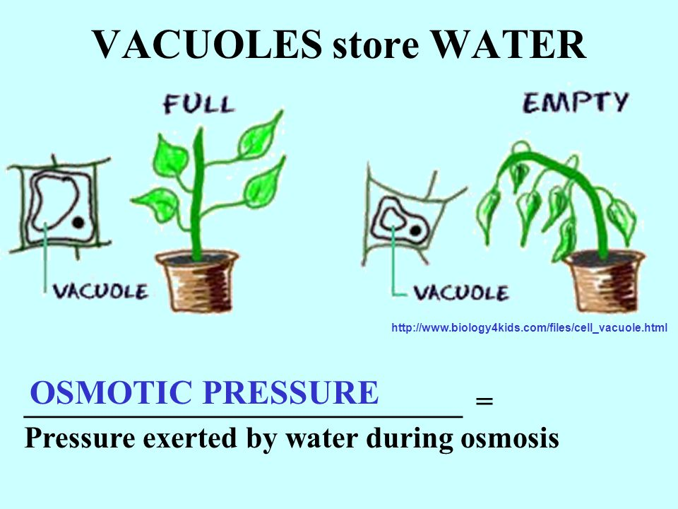 VACUOLES store WATER OSMOTIC PRESSURE _____________________________ =