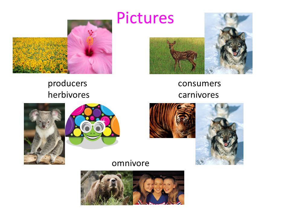 Pictures producers consumers. herbivores carnivores.