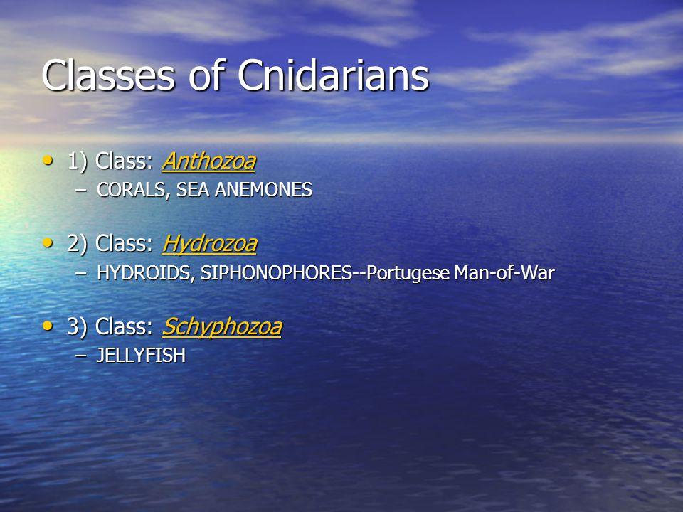 Classes of Cnidarians 1) Class: Anthozoa 2) Class: Hydrozoa