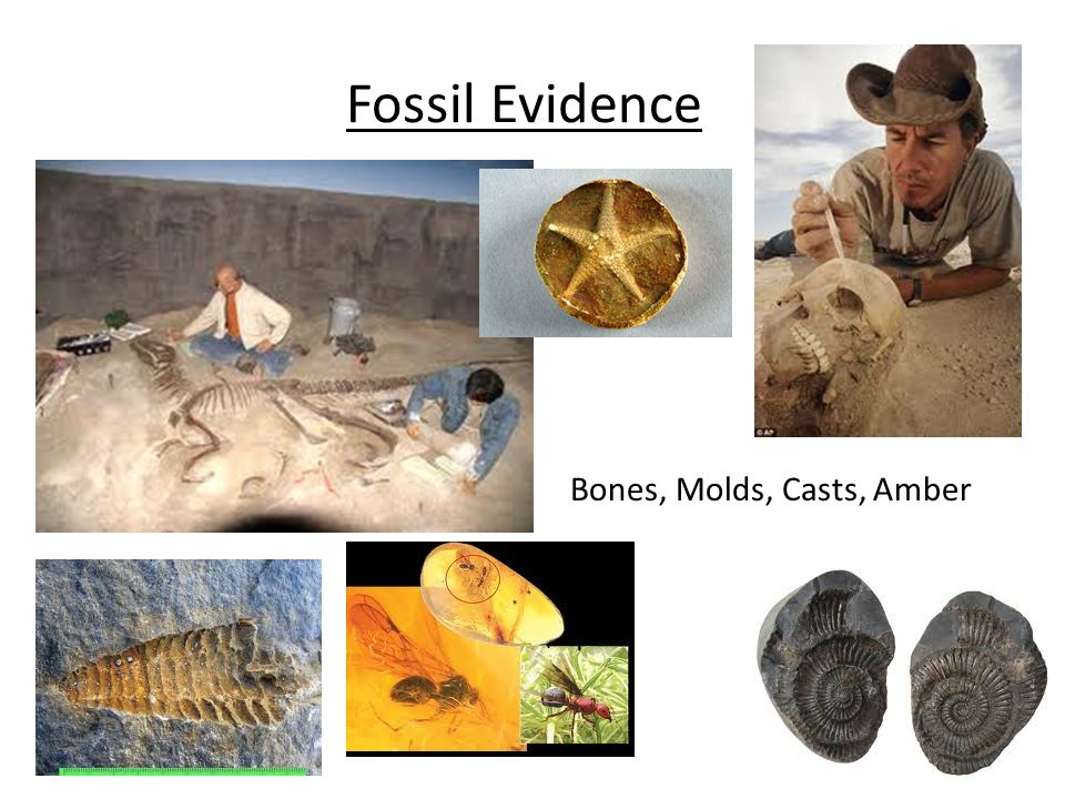 Fossil Evidence Bones, Molds, Casts, Amber
