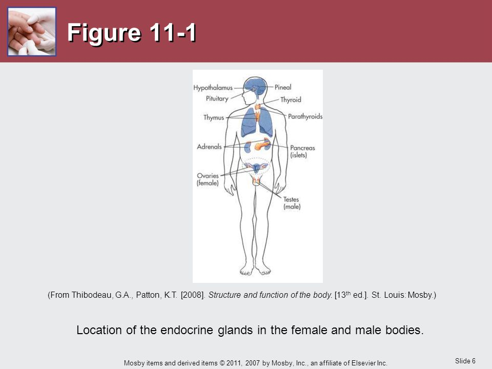 Location of the endocrine glands in the female and male bodies.