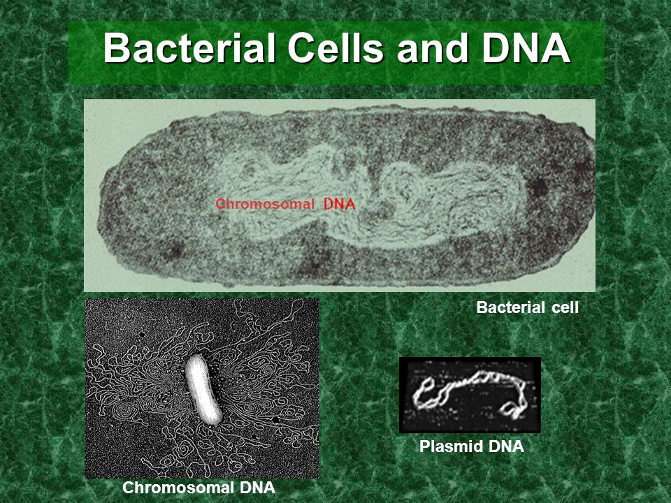 Bacterial Cells and DNA