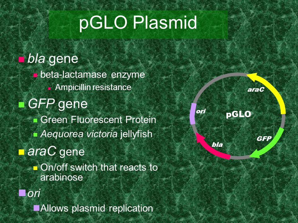pGLO Plasmid bla gene GFP gene araC gene ori beta-lactamase enzyme