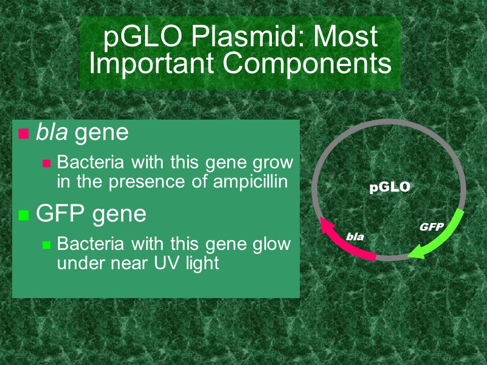 pGLO Plasmid: Most Important Components