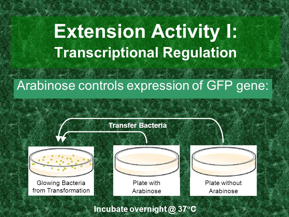 Extension Activity I: Transcriptional Regulation