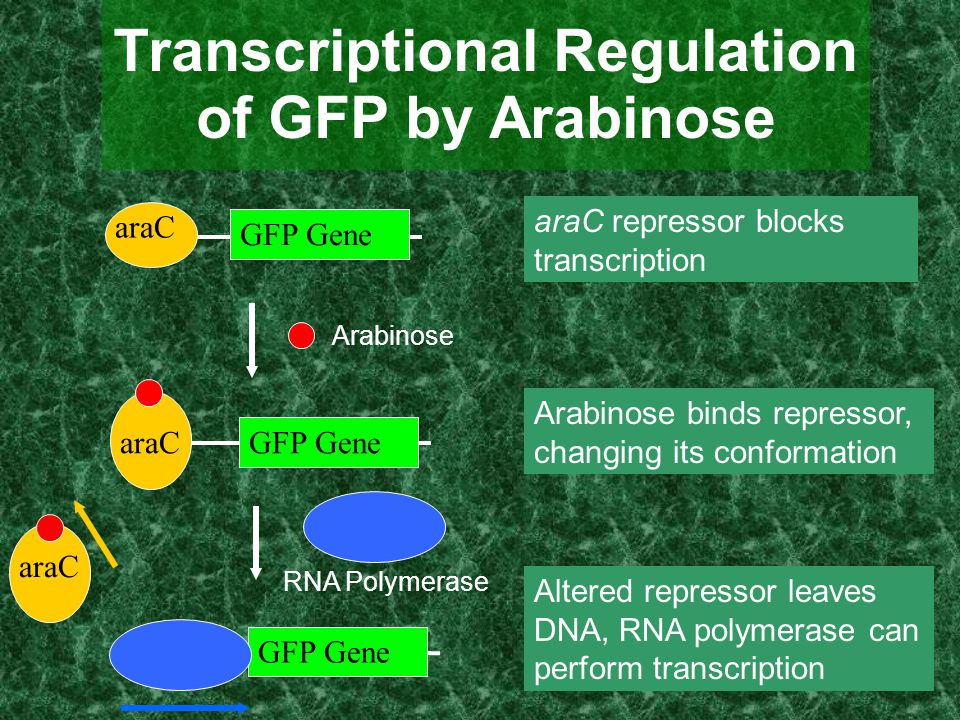 Transcriptional Regulation of GFP by Arabinose