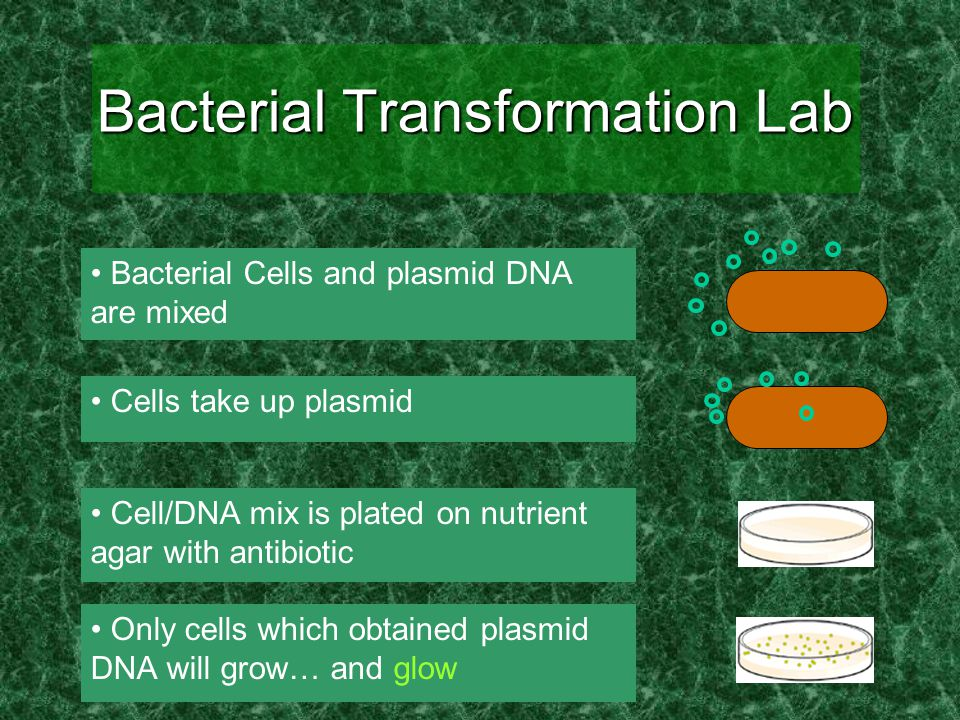 Bacterial Transformation Lab