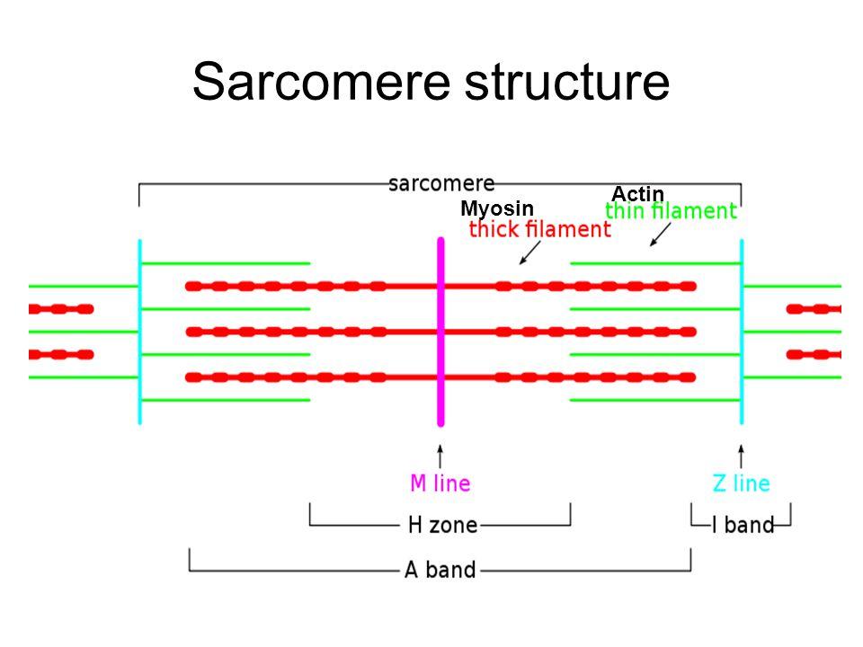 Sarcomere structure Actin Myosin