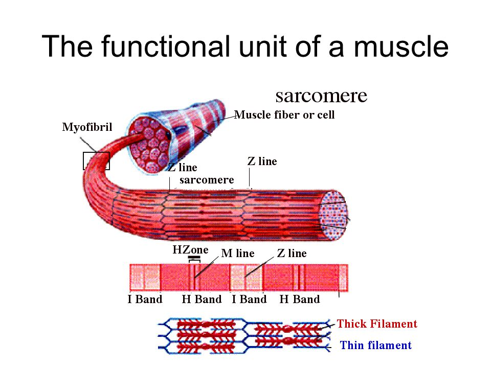 The functional unit of a muscle
