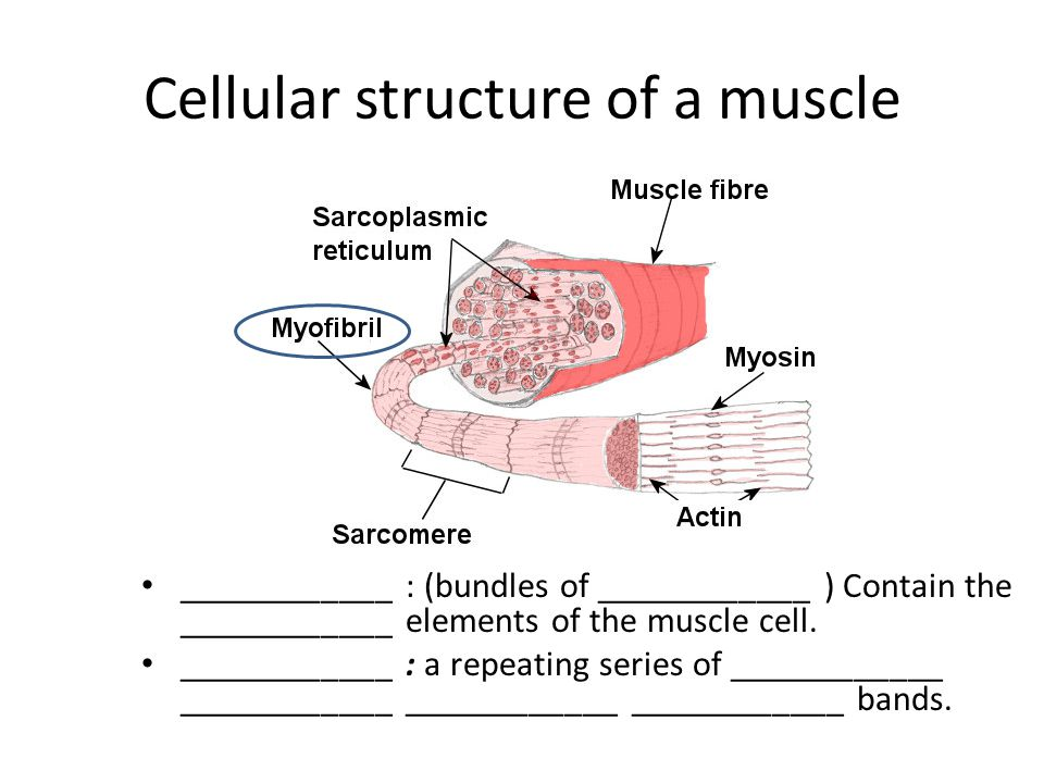 Cellular structure of a muscle