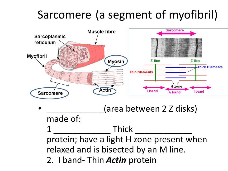 Sarcomere (a segment of myofibril)