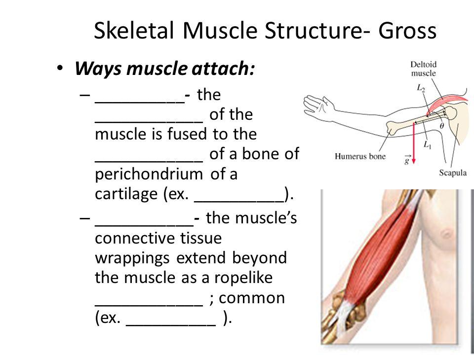 Skeletal Muscle Structure- Gross