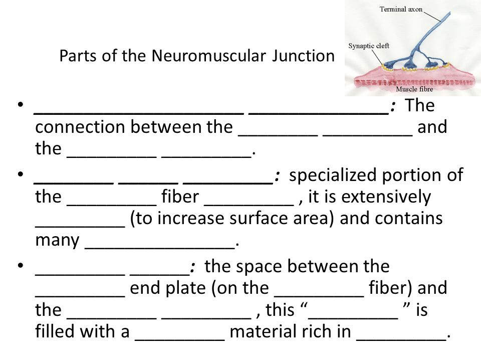 Parts of the Neuromuscular Junction