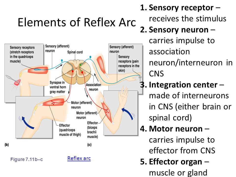 Elements of Reflex Arc Sensory receptor – receives the stimulus