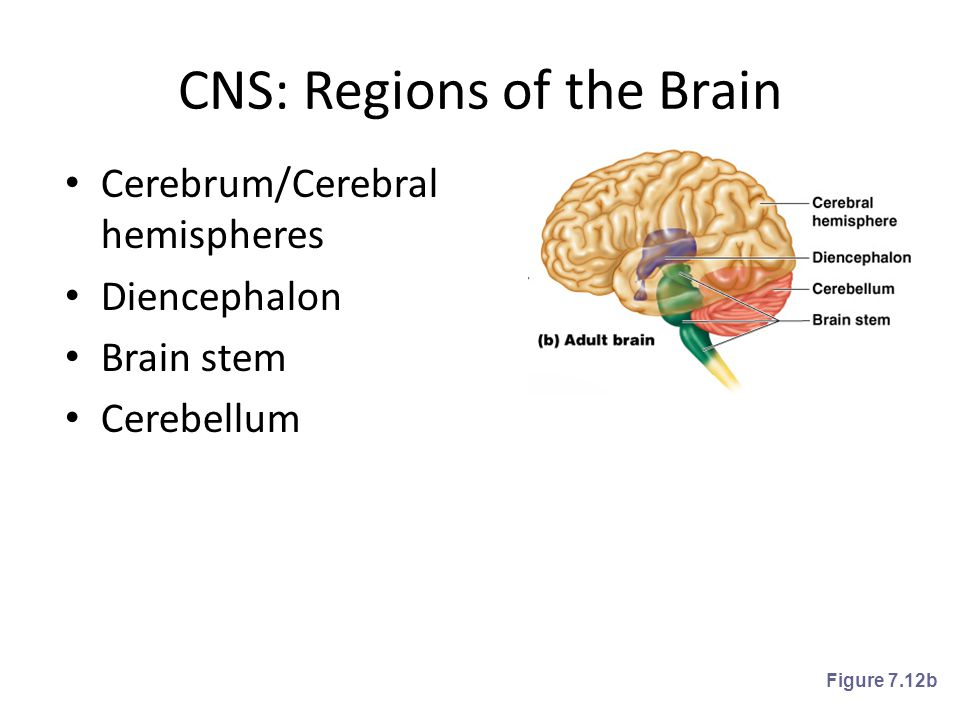 CNS: Regions of the Brain