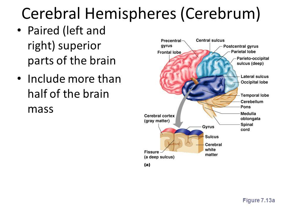 Cerebral Hemispheres (Cerebrum)